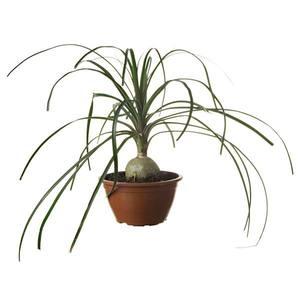 Planta Natural Beaucarnea  Beaucarnea  Recurvata Cuia 13cm Spasso Verdi