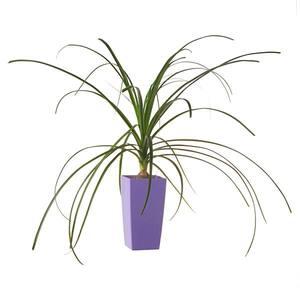 Planta Natural Beaucarnea  Beaucarnea  Recurvata Vaso 12cm Spasso Verdi