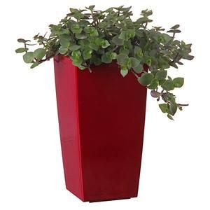 Planta Natural Dinheiro em Penca Callisia Repens Vaso 12cm Spasso Verdi