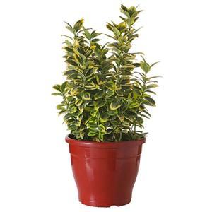Planta Natural Euonymus Euonymus Japonica Vaso 24cm Spasso Verdi