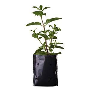 Planta Natural Mudas Condimentos Saco 10cm Spasso Verdi