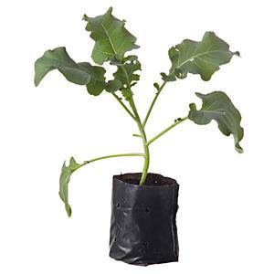 Planta Natural Mudas Hortaliças Saco 10cm Spasso Verdi
