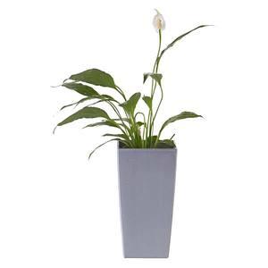 Planta Natural Sphatifilium Spathiphyllum Wallissii Verde Vaso 12cm Spasso Verdi