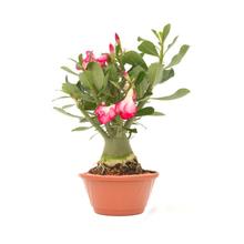 Rosa do Deserto Cuia 21
