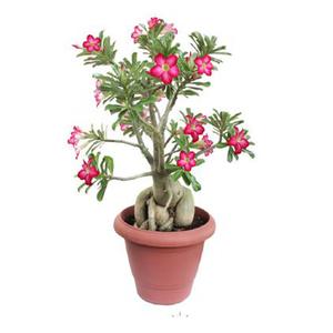 Rosa do Deserto Pote 24