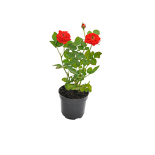 Roseira Mini Pote 11