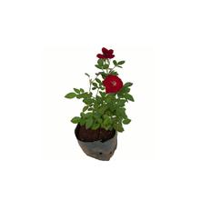 Roseira Mini Saquinho 10