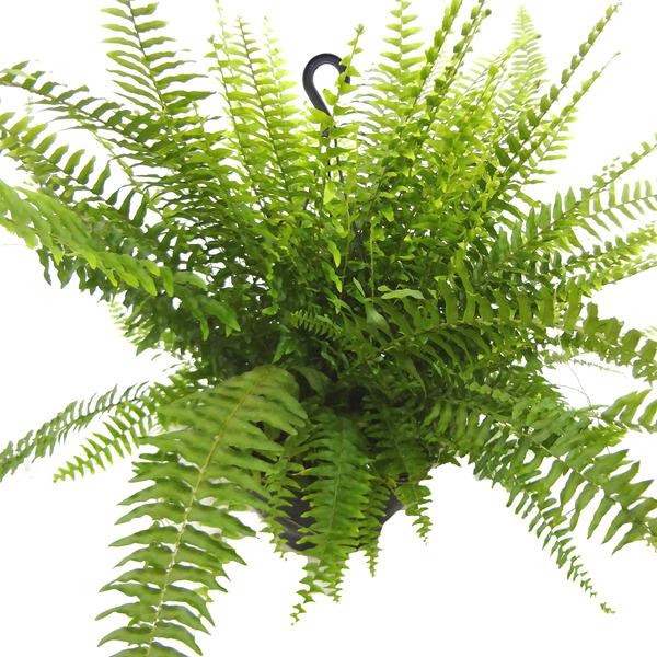 Samambaia americana ca32 s tios planta leroy merlin - Tegola americana leroy merlin ...