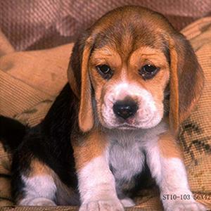 Tela Beagle 30x30cm