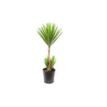 Yuca Verde 130cm Pote 45