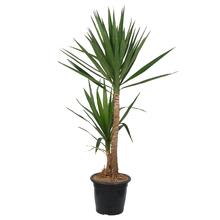 Yuca Verde 200cm Pote 45